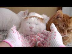 しろの顔マッサージ Massage to Cat - YouTube