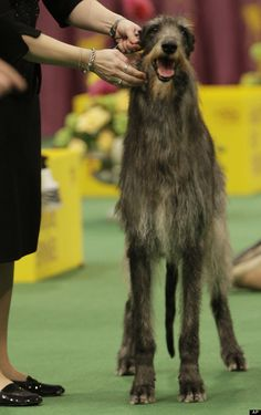 Scottish deer hound; Faces of the Westminster Dog Show