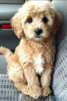 Golden Retriever Poodle Mix - The Miniature Goldendoodle Guide I Love Dogs, Puppy Love, Cute Dogs, Funny Dogs, Adorable Puppies, Funny Puppies, Cutest Small Dogs, Cutest Puppy Breeds, Funny Humor