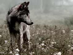 Grey Timber Wolf in a Field