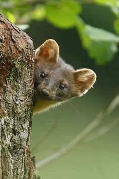 Baby Animals, Funny Animals, Cute Animals, Wild Animals, Wildlife Photography, Animal Photography, American Marten, La Martre, Enchanted