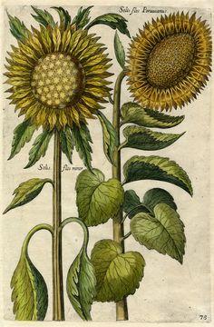 Sunflower by Matthaeus Merian (father of Maria Sybilla), 1641. Hand-coloured line engraving