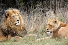 Mauritius - Image by Derek Keats    Fancy getting up close and personal with some big cats? The Casela Nature and Leisure Park gives you the chance to walk with the kings of the jungle in their natural habitat…Although they are tame, this probably isn't one for the faint-hearted! 15 minutes drive from Tamarin Beach Apartments Mauritius. www.tamarinbeachapartmentsmauritius.com
