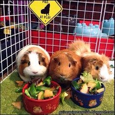 Guinea Pigs' Cavy Club Tips & Pics: Guinea Pigs - Taming and Bonding