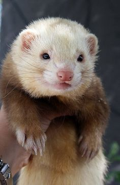 Teddy bear. Just show anyone who says they do not like ferrets this. They will want to hug him.