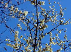 Chimonanthus praecox, Wintersweet