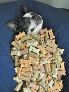 24 of the Funniest Pictures of Boston Terrier Dogs!