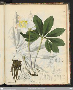 Helleborus niger, Christrose, Deutschlands phanerogamische Giftgewächse in Abbildungen und Beschreibungen, Johann Friedirch Brandt, 1834