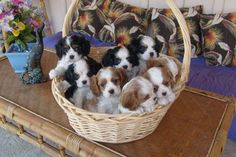 I love cavalier king charles doggies