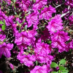 A purple azalea planted by the previous owner. The earlier a flower blooms in the New England spring, the more valuable it is, to me.