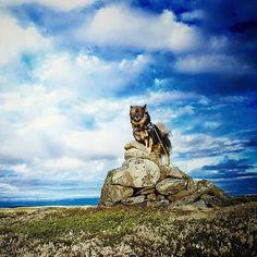 Keela the finnish lapphund on the norwegian mountain Mountains, Nature, Travel, Life, Animals, Voyage, Animales, Animaux, Viajes