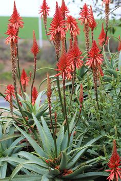 Krants Aloe (Aloe arborescens) cultivated at rest area on Hwy about 20 km west of Schellendam, Western Cape, South Africa. South African Flowers, Arizona Gardening, Photo Images, Plantation, Cacti And Succulents, Perennials, Beautiful Flowers, Ravelry, Cherokee Symbols