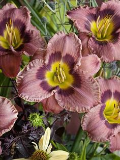 """Always Afternoon-5.5"""", dusky rose self with a striking plum purple eyezone and a green throat -Petals are crimped with thin buff pink edges, sepals are smooth -Blooms in midsummer; rebloomer -Extended bloom--flowers last at least 16 hours each -Semi-evergreen foliage stays nice all season -Grows equally well in the north and south"""