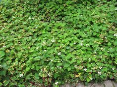 Houttuynia cordata and H. cordata 'Chameleon' by wallygrom, via Flickr