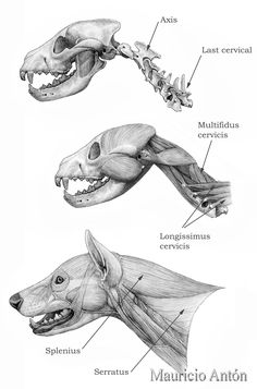 Dog Anatomy, Skull Anatomy, Skeleton Anatomy, Animal Anatomy, Anatomy Art, Animal Skull Drawing, Animal Skulls, Animal Drawings, Prehistoric Wildlife