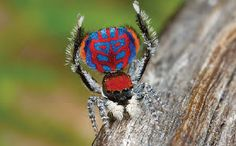 The very colourful peacock spider