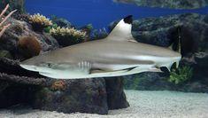 Blacktip reef shark, Coral Reefs, Fishes, Carcharhinus melanopterus at the Monterey Bay Aquarium Monterey Bay Aquarium, Orcas, Black Tip Shark, Nature Company, Types Of Sharks, Aquatic Ecosystem, Reef Shark, Shark Swimming, Fishing Guide