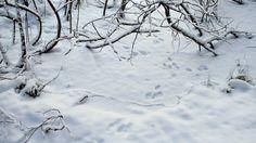 Talvinen luonto ei ole niin hiljainen ja eloton kuin usein ajatellaan. Ruokintapaikan linnut toki havaitaan ja niiden touhuja seurataan innolla. Kasvit ovat talvilevossa, mutta monet eläimet, varsinkin nisäkkäät, ovat liikkeellä ympäri vuoden. Lumeen piirtyvät jäljet sen paljastavat. Hiljaisuuden tuntu johtuneekin siitä, että suuri osa varsinkin nisäkkäistä on yöaktiivisia.