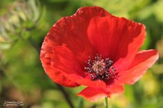 Red Poppy just to compare...