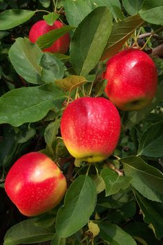 Gala Apple Trees Seeds- Harvest Delicious Fruits In Your Backyard Gardens Fruit And Veg, Fruits And Vegetables, Fresh Fruit, Bonsai Apple Tree, Apple Tree From Seed, Trees Online, Apple Varieties, Palmiers, Tree Seeds