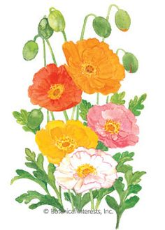 Perennial (Hardy to USDA zone 2, but is short-lived, lasting 2-3 years.) No flower is quite as lovely as Iceland poppy when the sun shines through the petals. These orange, red, pink, rose, yellow, cream and white blossoms will light up your garden in spring. A tender perennial, it is usually grown as an annual. Attracts bees. Good cut flower. Deer resistant.