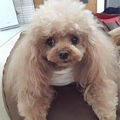 . 日曜はろこもこ月1の美容院 #ろっちゃん #トイプードル #カット #可愛い #癒し #愛犬 #だいすき #instagood #