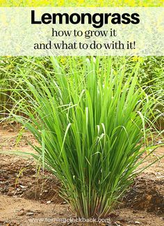 Garden Design Patio Love making lemongrass recipes but tired of buying it in the store? Grow lemongrass at home! Here are a few tips for planting your own lemongrass right in the back yard. As well as a few creative ways to use it once it is flourishing! Grow Lemongrass, Lemongrass Recipes, Garden Yard Ideas, Lawn And Garden, Garden Landscaping, Landscaping Ideas, Shade Landscaping, Florida Landscaping, Gardens