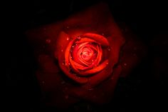 Die Schönheit Rose, Plants, Pictures, Animal Photography, Photographers, Pink, Plant, Roses, Planets
