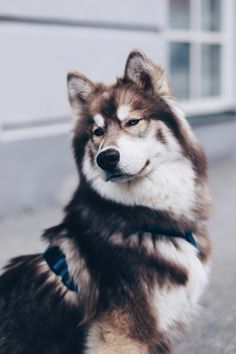 5 facts about the Siberian Husky Facts über den sibirischen Husky Teddy! Dog facts about the Siberian Husky Teddy, everyday life with dog, life … Puppy Husky, Puppy Mix, Samoyed Dog, Pet Dogs, Pets, Doggies, Haski Dog, Baby Dogs, Rescue Dogs