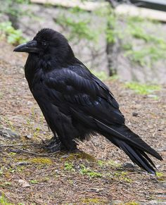 I love Ravens! Super Smart, Strong, & like humans, Sometimes Ruthless.