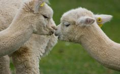 More Than 200 Dead or Starving Alpacas Discovered on Oregon Farm - victims of animal abuse