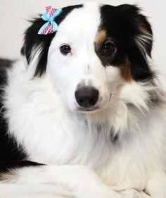 aussome-dog-designs modeled by Australian Shepherds