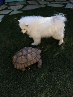 Samoyed & her friend Sulcata Tortoise Tiani & Kingsley