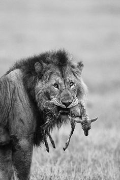 Lion with its kill Lion Prey, Dangerous Animals, Male Lion, Wildlife Photography, Big Cats, Cool Artwork, Beautiful Creatures, Animal Kingdom, Mammals