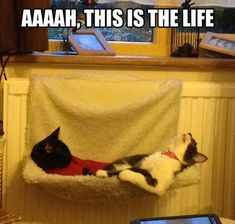 Cats relaxing Funny Animals With Captions, Funny Cats And Dogs, Funny Animal Pictures, Cute Funny Animals, Funny Cute, Cats And Kittens, Funny Images, Funny Photos, Crazy Cat Lady