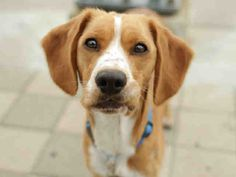 Norm the beagle is now up for adoption! Ask about animal A627812