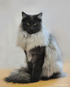 Black smoke skogkatt - amazing looking cat! HE IS WONDERFUL, I AM GOING TO CHECK OUT THIS BREED. OK HOMEWORK DONE THE CAT ALSO IS CALLED FOREST CAT ORIGINATED IN NORWAY THEIR LARGER SIZE AND COAT IS WHAT MAKES THEM UNIQUE A MAINE COON IS ALSO KNOWN AS A F http://www.mainecoonguide.com/what-is-the-average-maine-coon-lifespan/