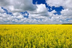 Agricultural landscape of canola or rapeseed farm field in Manitoba