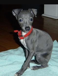 Italian Greyhound For Katt & Wendy - Ah. Dream doggy Got lucky getting my baby girl who's mixed with this. Miniature Italian Greyhound, Italian Greyhound Puppies, Blue Italian Greyhound, Italian Dogs, Italian Baby, Pet Dogs, Dog Cat, Doggies, Cute Puppies