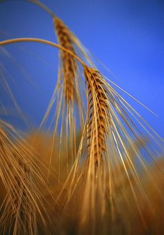 """By sowing frugality we reap liberty, a golden harvest."" –Agesilaus, c. 444 BC – 360 BC"
