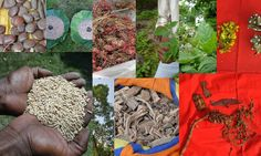 Medicinal Rice Formulations for Diabetes Complications and Metabolic Disorders (TH Group-568) from Pankaj Oudhia's Medicinal Plant Database