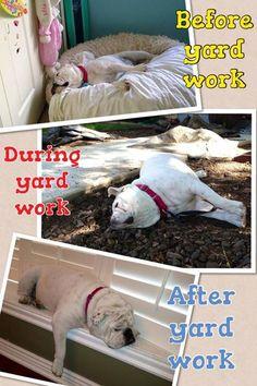 YARD WORK #englishbulldog #pets