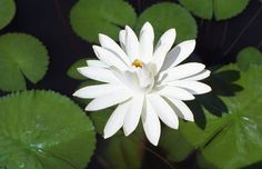 Gorgeous white waterlily, Nymphaea 'Trudy Slocum'
