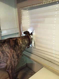 Introducing new designer window coverings with a custom greyhound visibility portal! Get yours today! #greyhounds