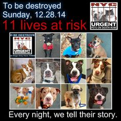 TO BE DESTROYED: 11 Dogs to be euthanized by NYC ACC- SUN. 12/28/14. This is a HIGH KILL shelter group. YOU may be the only hope for these pups! ****PLEASE SHARE EVERYWHERE!!!To rescue a Death Row Dog, Please read this:  http://urgentpetsondeathrow.org/must-read/    To view the full album, please click here:    https://www.facebook.com/media/set/?set=a.611290788883804.1073741851.152876678058553&type=3