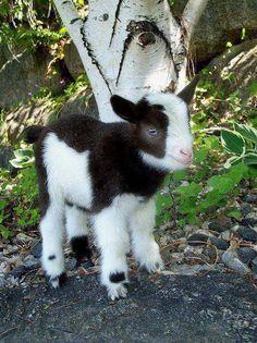 Baby goat!!