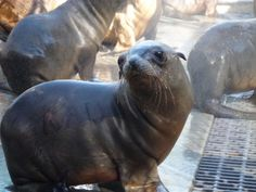 California sea lion strandings alarm scientists read