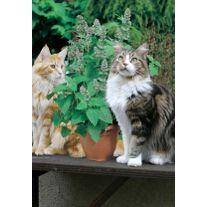 NEPETA cataria- CATMINT- Menta Pisicii