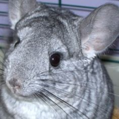 Chinchilla!!!  Yikes... This had made it to Brianna's Christmas list for the second year in a row!!!  Cute but I don't foresee this getting crossed off her list this year either.