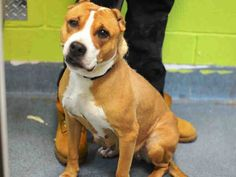 SUPER URGENT 02/04/15 Brooklyn Center  ZENA - A1027166  I am an unaltered female, tan and white Pit Bull Terrier mix.  The shelter staff think I am about 12 years old.  I was found in NY 11236.  I have been at the shelter since Feb 04, 2015. https://www.facebook.com/Urgentdeathrowdogs/photos/a.617942388218644.1073741870.152876678058553/956723991007147/?type=3&theater